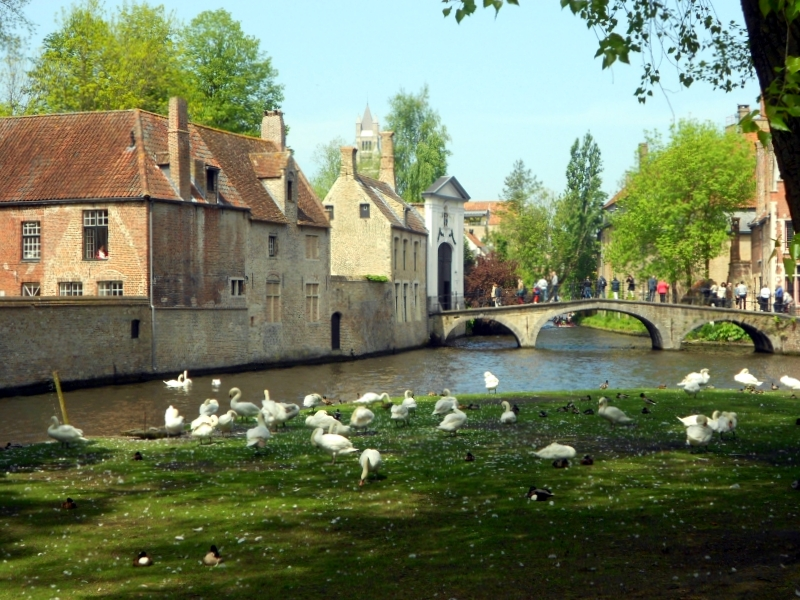 cigni canale bruges