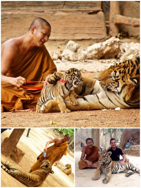 tigri_collage