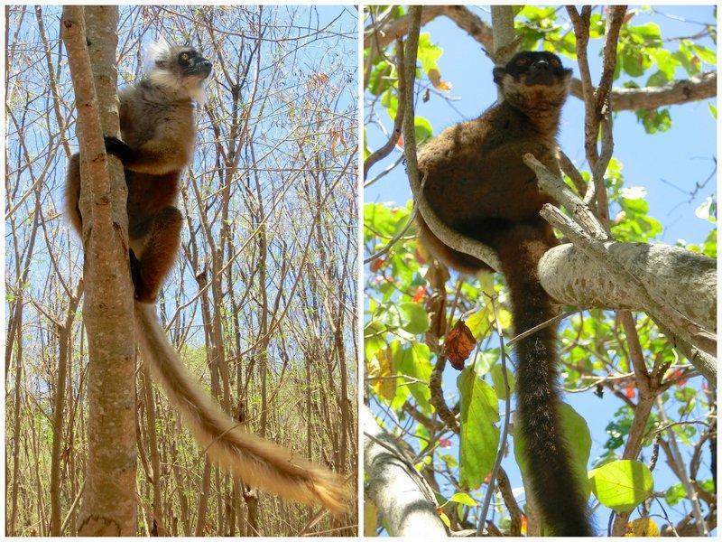 lemuri-nosy-tanikely