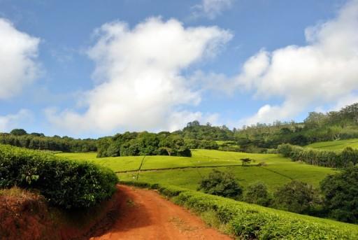 piantagioni-tè