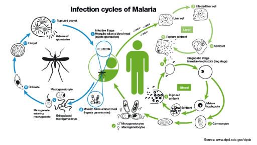 ciclo uomo zanzara malaria