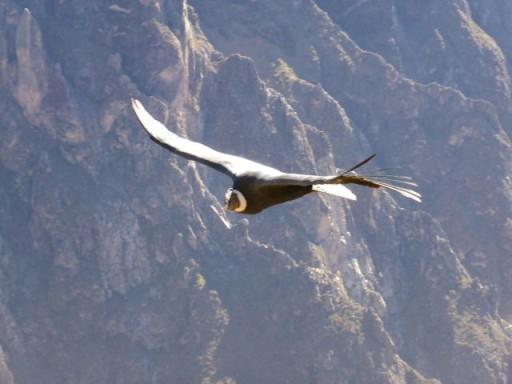 condor maschio, canyon colca, condor perù