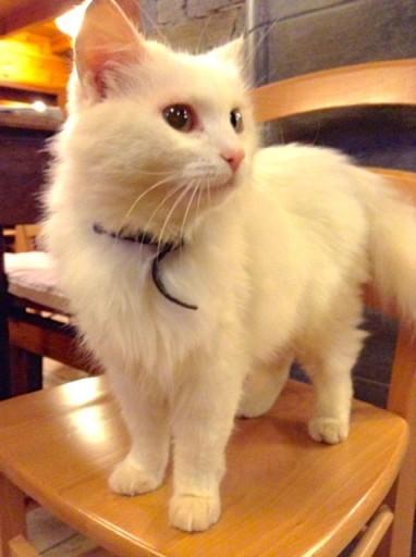 gatto bianco, gatto sordo