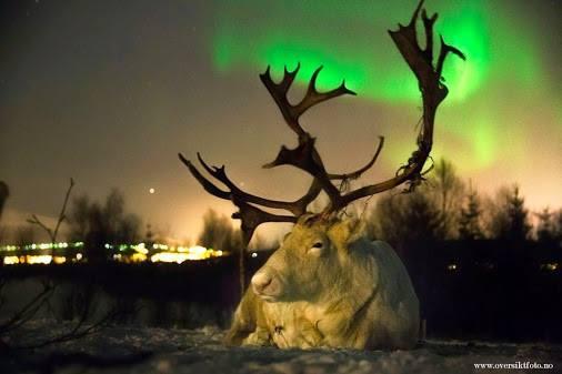 Le renne della lapponia