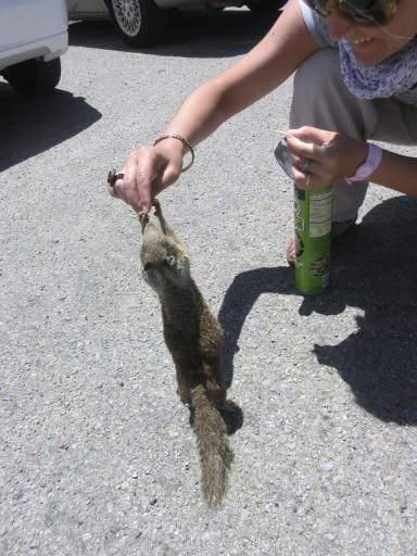 scoiattolo-california-05
