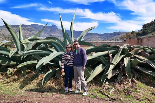 agave maguey