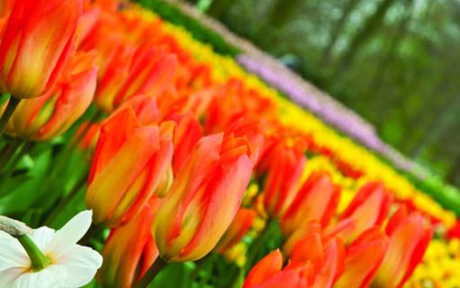 I tulipani di