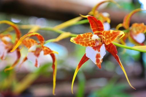 orchidee Xoxoctic