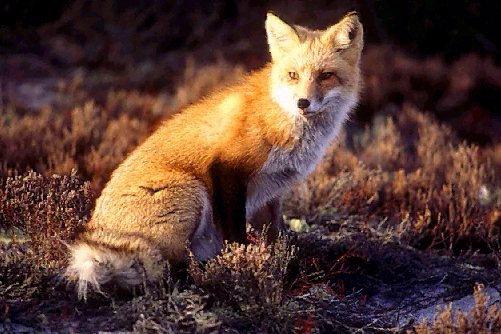 Non solo volpi, ma anche pipistrelli, lupi e rapaci possono trasmetter la rabbia anche senza mordervi.
