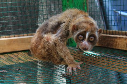 Il cucciolotto di lemure a casa di Jolan e Uus, del quale Simona si è pazzamente innamorata! Io, invece, sono più lenta ;)