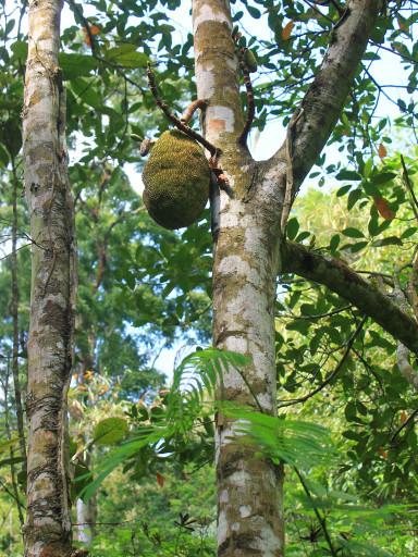 Il frutto della pianta del pane di cui la foresta è stra ricca