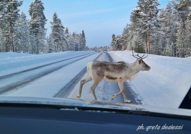 reindeer Ivalo